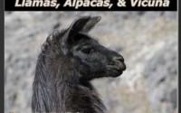 llama_wall_calendar-325h