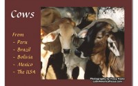 cow-calendar-south-america